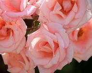 Чарівність троянд - частина 5 Ніжність, Краса, Природа, Сад, Кущ, Квіти, Троянди, Любов / Кохання id1599236361