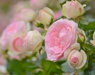 Чарівність троянд - частина 6 Ніжність, Краса, Природа, Сад, Кущ, Квіти, Троянди, Любов / Кохання id852812665