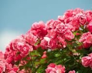 Любов і троянди - частина 1 Ніжність, Небо, Природа, Сад, Кущ, Квіти, Троянди, Любов / Кохання, Схід, Сонце id563550870