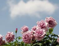 Любов і троянди - частина 1 Ніжність, Небо, Природа, Сад, Кущ, Квіти, Троянди, Любов / Кохання, Схід, Сонце id604488526
