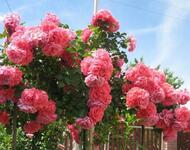 Любов і троянди - частина 4 Ніжність, Небо, Природа, Кущ, Роса, Квіти, Троянди, Любов / Кохання, Схід, Сонце id437972029