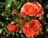 Любов і троянди - частина 5 Ніжність, Небо, Природа, Кущ, Роса, Квіти, Троянди, Любов / Кохання, Схід, Сонце id536256911