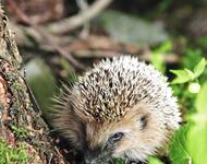 August Beauty and the Hedgehog - Part 6  133108922