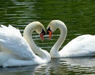 Красені лебеді - частина 2 Природа, Озеро, Позитив, Вода, Літо, Царство Природи, Сонце, Схід, Лебеді, Вірність id57585083