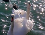 Красені лебеді - частина 2 Природа, Озеро, Позитив, Вода, Літо, Царство Природи, Сонце, Схід, Лебеді, Вірність id276519548