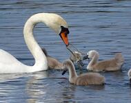 Красені лебеді - частина 2 Природа, Озеро, Позитив, Вода, Літо, Царство Природи, Сонце, Схід, Лебеді, Вірність id1244967476