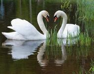 Красені лебеді - частина 3 Природа, Озеро, Позитив, Вода, Літо, Царство Природи, Сонце, Схід, Лебеді, Вірність id1006966034