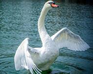 Красені лебеді - частина 4 Природа, Озеро, Позитив, Вода, Літо, Царство Природи, Сонце, Схід, Лебеді, Вірність id288943987