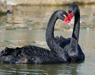 Красені лебеді - частина 6 Природа, Озеро, Позитив, Вода, Літо, Царство Природи, Сонце, Схід, Лебеді, Вірність id1026650215