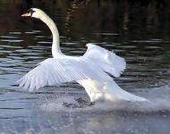 Красені лебеді - частина 8 Природа, Озеро, Позитив, Вода, Літо, Царство Природи, Сонце, Схід, Лебеді, Вірність id996182425