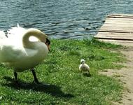 Красені лебеді - частина 8 Природа, Озеро, Позитив, Вода, Літо, Царство Природи, Сонце, Схід, Лебеді, Вірність id541277430