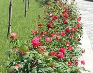 """Знайомства Черкаси. Парк """"Долина троянд"""" Цікаві місця для побачень, Природа, Парк, Годинник, Троянди id281428147"""