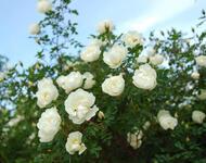 Знайомства і троянди - Богиня квіткового царства Природа, Квіти, Весна, Троянди, Любов / Кохання id2004046008