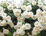 Знайомства і троянди - Богиня квіткового царства Природа, Квіти, Весна, Троянди, Любов / Кохання id508723435