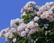 Знайомства і троянди - Богиня квіткового царства Природа, Квіти, Весна, Троянди, Любов / Кохання id2079246313