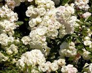 Знайомства і троянди - цікаві факти про троянди Природа, Квіти, Весна, Троянди, Любов / Кохання id617427199