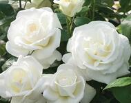 Знайомства і троянди - цікаві факти про троянди Природа, Квіти, Весна, Троянди, Любов / Кохання id1955720274