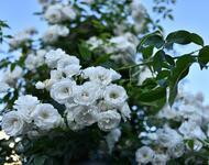 Знайомства і троянди - цікаві факти про троянди Природа, Квіти, Весна, Троянди, Любов / Кохання id916330284