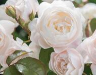 Знайомства і троянди - цікаві факти про троянди Природа, Квіти, Весна, Троянди, Любов / Кохання id1052116207