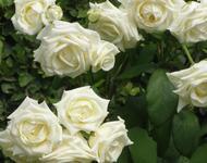 Знайомства і троянди - Нідерланди є провідним експортером троянд Природа, Квіти, Весна, Троянди, Любов / Кохання id252161818