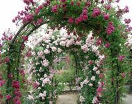Знайомства і троянди - Нідерланди є провідним експортером троянд Природа, Квіти, Весна, Троянди, Любов / Кохання id89071390