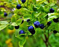 Найкорисніша літня ягода - чорниця Природа, Їжа, Позитив, Здоров'я, Ягоди, Цікаві факти, Літо, Вітаміни, Чорниця id1998348084