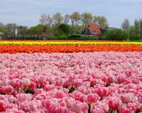 Поля тюльпанов в Нидерландах часть 3 Природа, Нидерланды, Цветы, Тюльпаны, Восток, Солнце, Небо id427594979