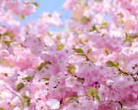 Дивовижна краса природи - частина 6 Сакура, Магнолія, Крокуси, Небо, Природа, Квіти, Захід, Схід, Черешня id566932883