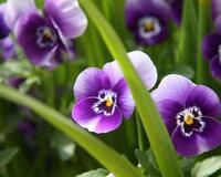Дивовижна краса природи - частина 8 Тюльпани, Бузок, Небо, Природа, Квіти, Захід, Схід id471777063