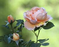 Чарівність троянд - частина 7 Ніжність, Краса, Природа, Сад, Кущ, Квіти, Троянди, Любов / Кохання id1596221706