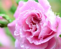 Любов і троянди - частина 1 Ніжність, Небо, Природа, Сад, Кущ, Квіти, Троянди, Любов / Кохання, Схід, Сонце id537218231