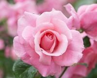 Любов і троянди - частина 1 Ніжність, Небо, Природа, Сад, Кущ, Квіти, Троянди, Любов / Кохання, Схід, Сонце id1828437871