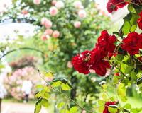 Любов і троянди - частина 4 Ніжність, Небо, Природа, Кущ, Роса, Квіти, Троянди, Любов / Кохання, Схід, Сонце id501673433