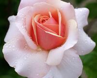 Любов і троянди - частина 6 Ніжність, Небо, Природа, Кущ, Роса, Квіти, Троянди, Любов / Кохання, Схід, Сонце id1757986312
