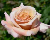 Любов і троянди - частина 7 Ніжність, Небо, Природа, Кущ, Роса, Квіти, Троянди, Любов / Кохання, Схід, Сонце id1692873484