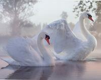 Красені лебеді - частина 1 Природа, Озеро, Позитив, Вода, Літо, Царство Природи, Сонце, Схід, Лебеді, Вірність id1937932228