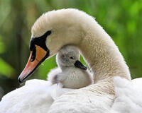 Красені лебеді - частина 3 Природа, Озеро, Позитив, Вода, Літо, Царство Природи, Сонце, Схід, Лебеді, Вірність id729019536