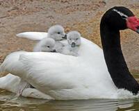 Красені лебеді - частина 6 Природа, Озеро, Позитив, Вода, Літо, Царство Природи, Сонце, Схід, Лебеді, Вірність id179885354
