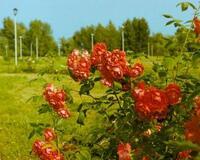 Знайомства Черкаси. Долина троянд Цікаві місця для побачень, Природа, Парк, Троянди id377557658
