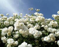 Знайомства і троянди - Богиня квіткового царства Природа, Квіти, Весна, Троянди, Любов / Кохання id162222010
