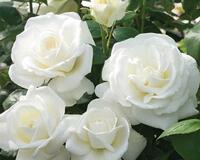 Знайомства і троянди - цікаві факти про троянди Природа, Квіти, Весна, Троянди, Любов / Кохання id1550702201