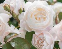Знайомства і троянди - цікаві факти про троянди Природа, Квіти, Весна, Троянди, Любов / Кохання id602889143