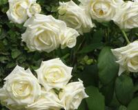 Знайомства і троянди - Нідерланди є провідним експортером троянд Природа, Квіти, Весна, Троянди, Любов / Кохання id1702383443